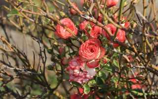 Как утеплять розы зимой
