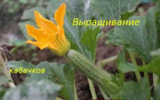 Кабачки в саду
